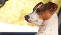 Summer Pet Travel Tips